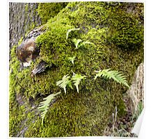 Licorice Root Fern Poster