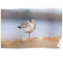 Cold Plover Poster