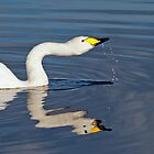 Whooper Swan by M.S. Photography & Art