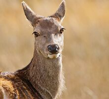 Red Deer Portrait by Margaret S Sweeny