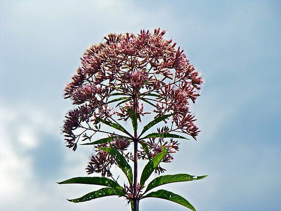 Joe-Pye Weed Wildflower - Eupatorium by MotherNature