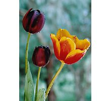Tulips of Contrast Photographic Print