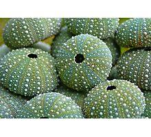Sea Urchin Shells Photographic Print
