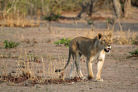 Hungry! by Explorations Africa Dan MacKenzie
