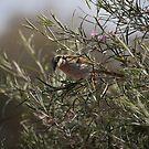 Singing Honeyeater (Lichenostomus virescens) by Rosie Appleton