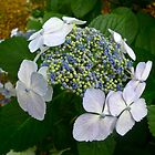 Blue Buds on Hydrangea by magicaltrails