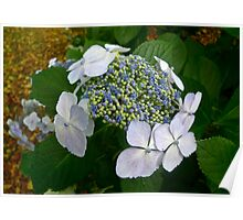 Blue Buds on Hydrangea Poster