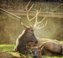 Elk Family by vigor