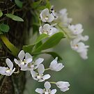 native orchid   by Clare Colins