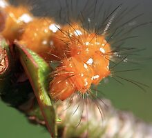 Spotted Oleander Caterpillar by Virginia N. Fred