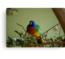 Scarlet Chested Parrot Canvas Print