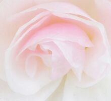 The Fragile Rose by PictureNZ