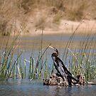 Australasian Darter (Anhinga novaehollandiae) by Rosie Appleton