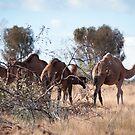 Feral Camels (Camelus dromedarius) by Rosie Appleton