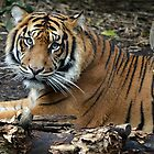 Sumatran Tiger by gmws