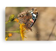 red admiral on yellow flower Canvas Print