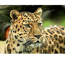 Amur Leopard (Panthera pardus orientalis) Photographic Print