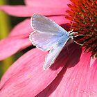 little blue butterfly by Jicha