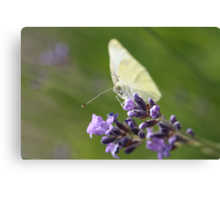 cabbage butterfly on lavender Canvas Print