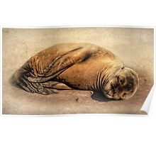 Baby Seal Poster