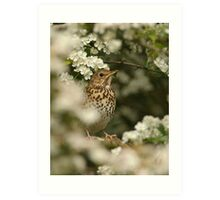 song thrush Art Print
