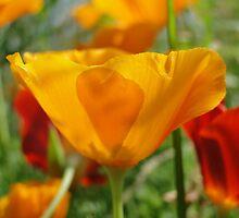 California Poppy  by Barrie Woodward