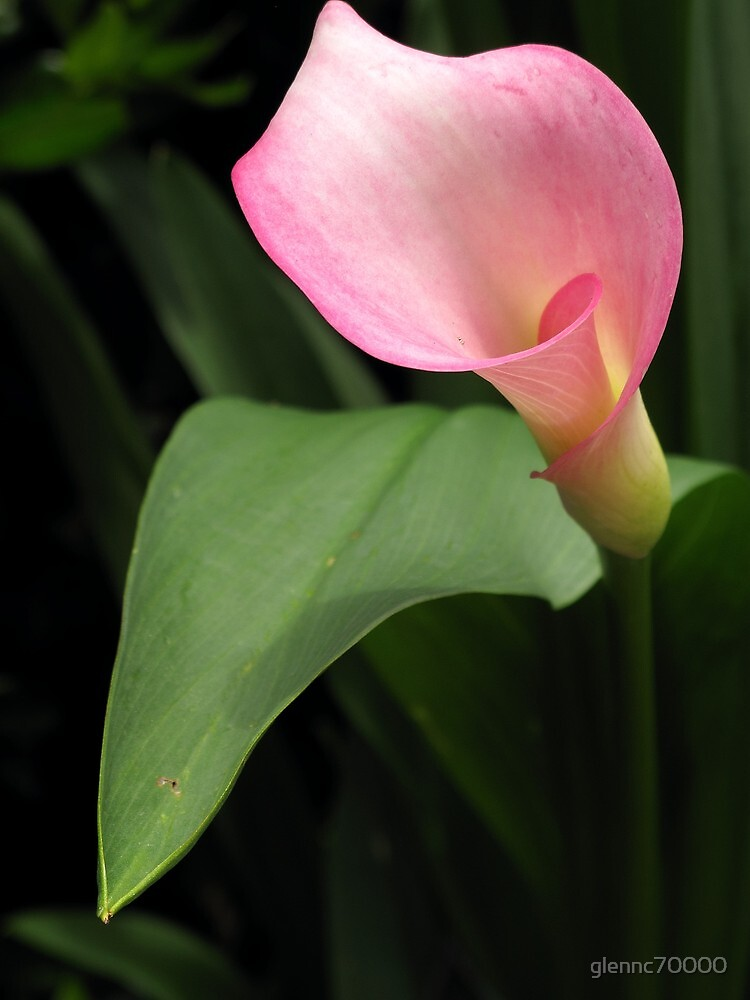 Another Pink Lilly by Glenn Cecero