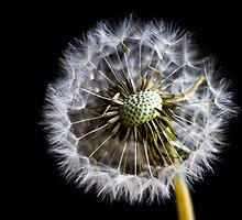Blown Dandelion by Toastmuncher