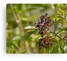 Ripening Elderberries Canvas Print