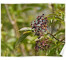 Ripening Elderberries Poster