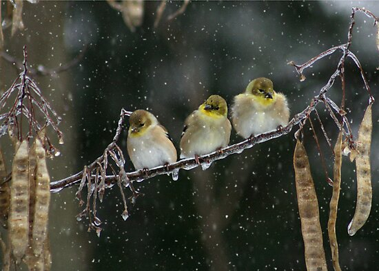 GOLDEN TRIO by Lori Deiter