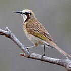 Tawny Crowned Honeyeater taken Waterhouse Conservation Park in Tasmania - Photo 2 by Alwyn Simple