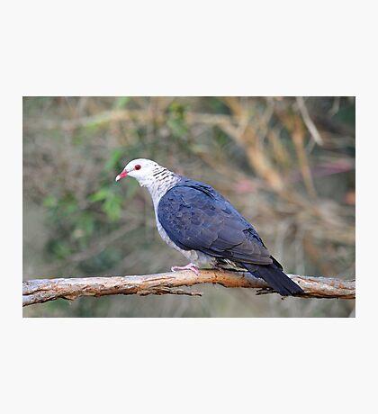 White Headed Pigeon At Cedar Creek, Queensland, Australia. Photographic Print