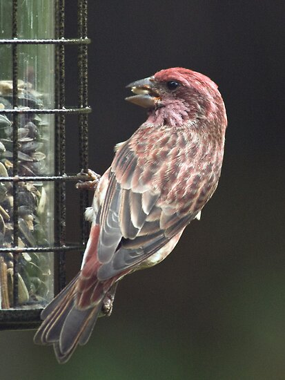 Purple Finch by KAREN SCHMIDT