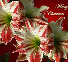 Merry Christmas Greeting Card - Red and White Amaryllis by MotherNature