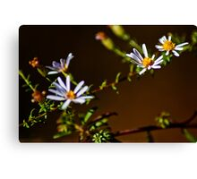 Foster Aster Canvas Print