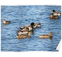 Ducks on a Lake Poster