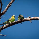 Budgie pair (Melopsittacus undulatus) by Rosie Appleton