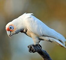 Long Billed Corella At Cedar Creek, Queensland, Australia. (2) by Ralph de Zilva