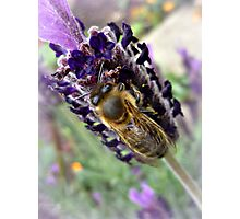 A contented Bee on Lavender Photographic Print