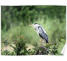 Black Crowned Night-Heron Poster