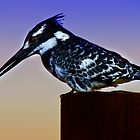 PIED KINGFISHER by RonelBroderick