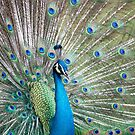 Peacock displaying by mncphotography