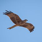 Black Kite (Milvus migrans) by Rosie Appleton