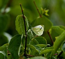 Green-veined White butterfly by Sue Robinson