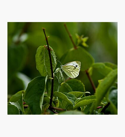 Green-veined White butterfly Photographic Print