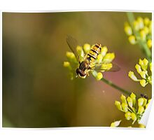 Hoverfly on Fennel Poster