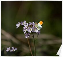 Orange-tip butterfly Poster