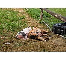 Pigs' bottoms Photographic Print