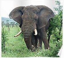 African Elephant grazing Poster